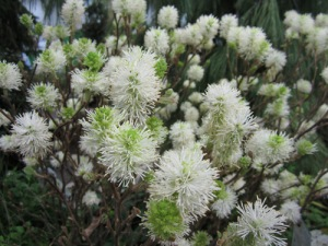 Fothergilla-at-CENTS-2013